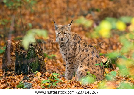 Lynx (Lynx lynx) sitting in the Bavarian forest, during fall. - stock photo