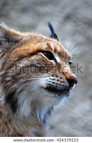 Lynx lynx portrait - stock photo