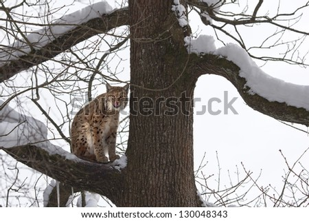 Lynx on a branch of a snowy tree, looks toward the camera and licks his whiskers. - stock photo