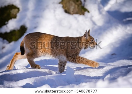Lynx quietly stepping in the snow in the woods - stock photo