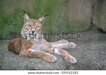 Lynx (scientific name: lynx lynx) on the rock, resting. - stock photo