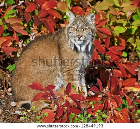 Lynx sitting in the pretty bushes. This is on a ranch in Montana. - stock photo