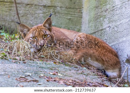 Lynx sleeping on the rock - stock photo