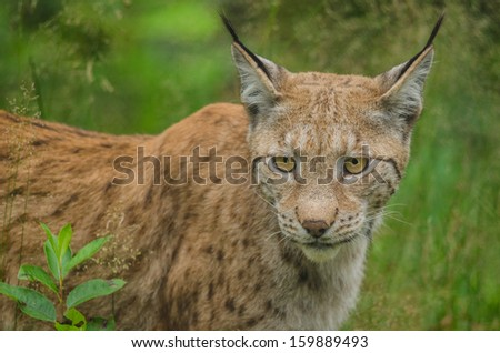 Lynx watching something in summer time  - stock photo