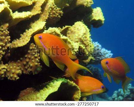 Lyretail anthias females near yellow cup coral - stock photo
