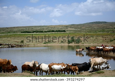 Maasai cows - stock photo
