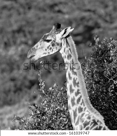 Maasai giraffes in Crater Ngorongoro National Park - Tanzania (black and white) - stock photo