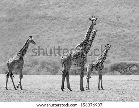 Maasai giraffes in the Crater Ngorongoro National Park - Tanzania (black and white) - stock photo