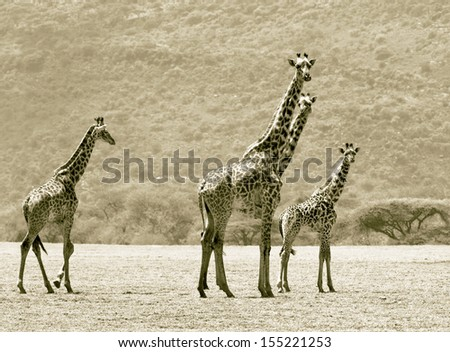 Maasai giraffes in the Crater Ngorongoro National Park - Tanzania (stylized retro) - stock photo