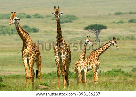 Maasai giraffes, Maasai Mara Game Reserve, Kenya - stock photo