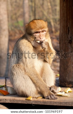 macaque eating a fruits - stock photo