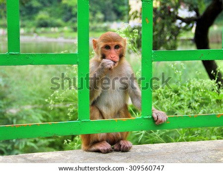 Macaque monkey on the fence near Sacred Lake in Rewalsar city (Tsopema), Himachal Pradesh, India - stock photo