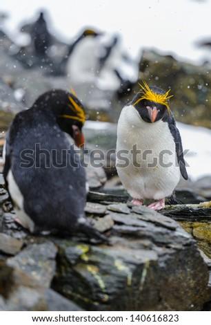Macaroni Penguins, - stock photo