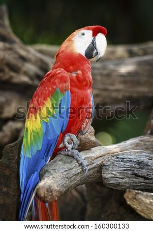 Macaw Bird in nature - stock photo