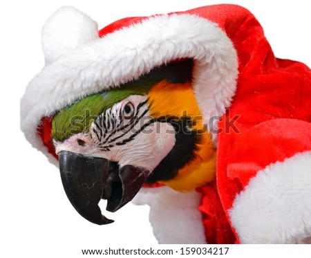 Macaw Dressed for Christmas - stock photo