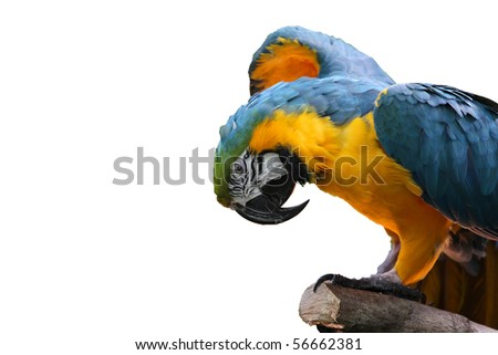 Macaw or parrot with yellow and blue feathers - stock photo