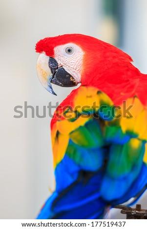 macaw parrot beautiful - stock photo