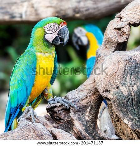 Macaw parrot bird - stock photo