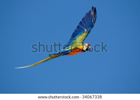 Macaw parrot flying - stock photo