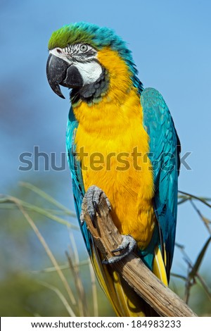 Macaw perched on a branch against a clear blue sky/Macaw Parrot/Macaw Parrot - stock photo
