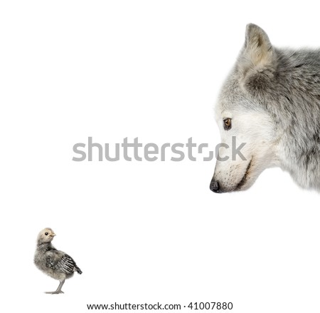 Mackenzie Valley Wolf looking at a chick in front of white background, studio shot - stock photo
