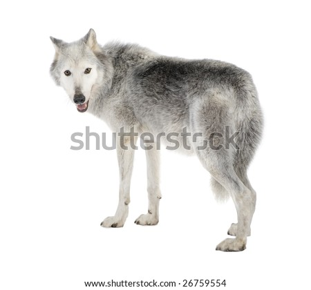 Mackenzie Valley Wolf (8 years) - Canis lupus occidentalis in front of a white background - stock photo
