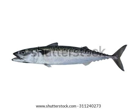 mackerel fish on a white background - stock photo
