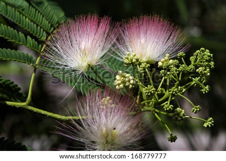 macro beautiful and unusual fluffy pink flowers acacia in the garden Abkhazia - stock photo