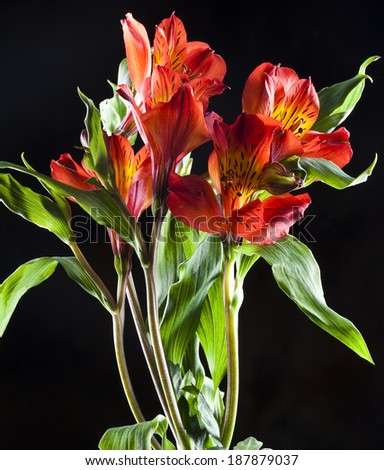 macro beautiful red Alstroemeria on black background studio - stock photo