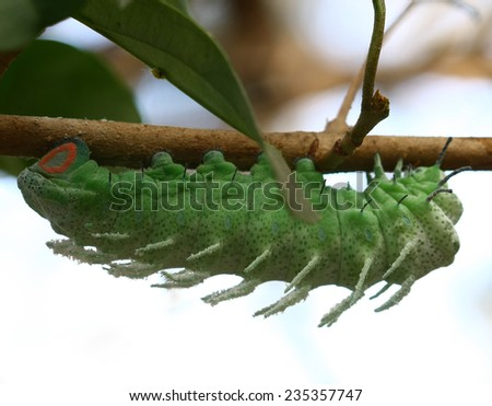 macro butterfly worm - stock photo