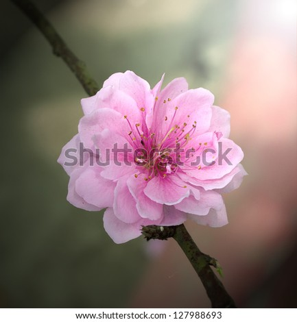 Macro cherry blossoms flowers - stock photo