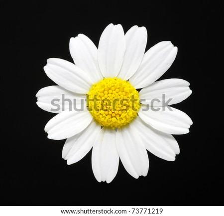 macro close-up of a daisy flower - stock photo