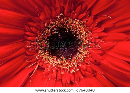 Macro, close up of a red Gerbera Daisy - stock photo