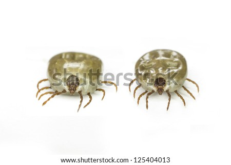 Macro close up of female tick on a white background - stock photo
