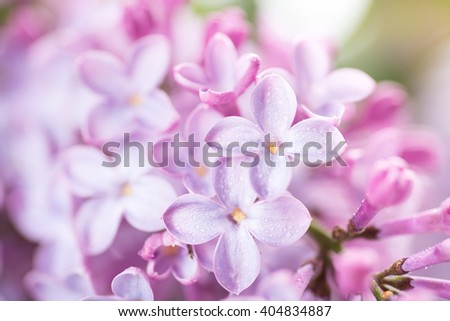 Macro Close up of Lilac Blossoms with Droplets of Water - stock photo