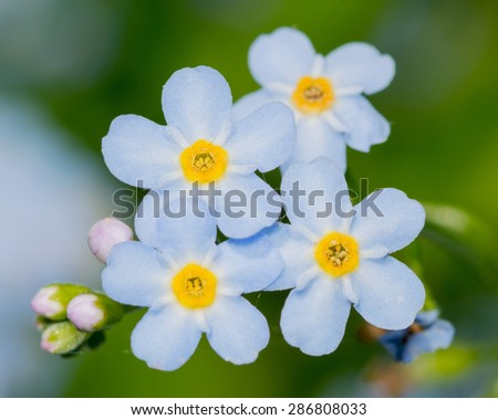 Macro closeup of Forget Me Not flowers. - stock photo