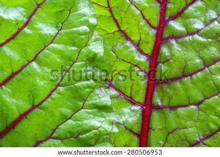 Macro closeup shiny green leaves and red veins of fresh grown Swiss chard - stock photo