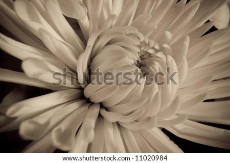macro daisy - stock photo