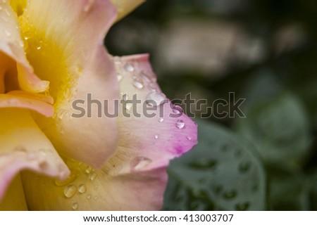 Macro Dews on yellow rose Petal - stock photo