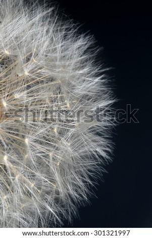 Macro fluffy dandelion on a grey background Studio - stock photo