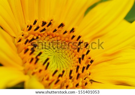 Macro from a sunflower with a Bumblebee - stock photo