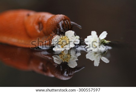 macro from great red slug - stock photo