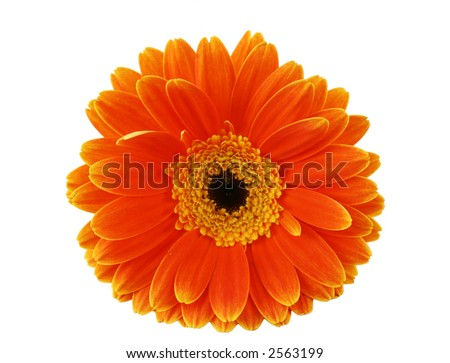 Macro Gerbera isolated on a white background - stock photo