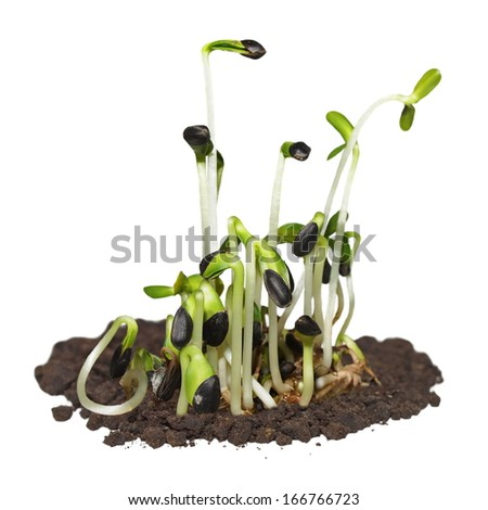 macro germination of sunflower isolated on white background - stock photo