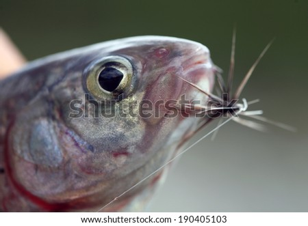 macro grayling fish head with a hook in the mouth in fisherman's hand - stock photo