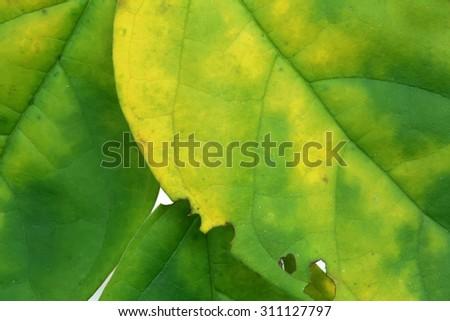 macro green and yellow  leaf - stock photo