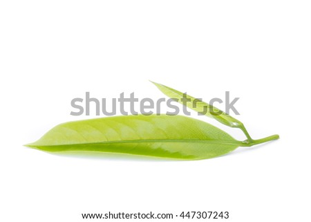 Macro green leaf of Ylang-Ylang flower on white background - stock photo
