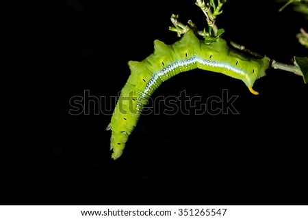 Macro green worm on the tree branch isolated on black background - stock photo