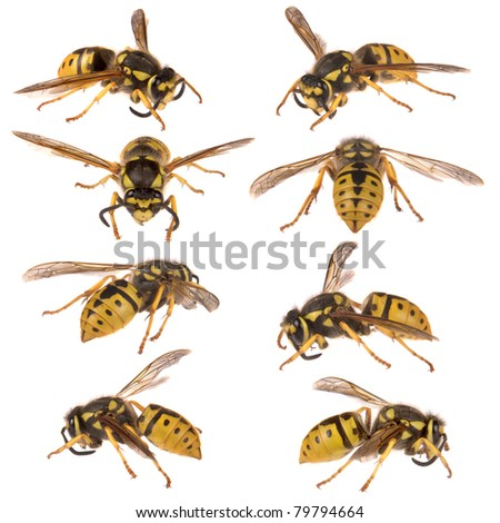 Macro image of a European wasp. Isolated on a white background. - stock photo