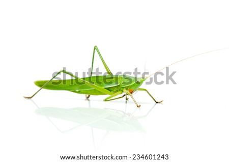 Macro image of a grasshopper isolated on white background  - stock photo
